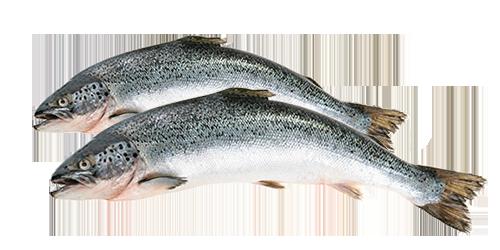 Pesce Salmone Ransrl